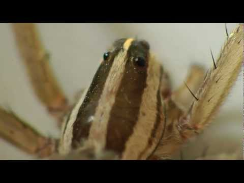 female-wolf-spider-with-babies-on-her-back-hi-def-1080p