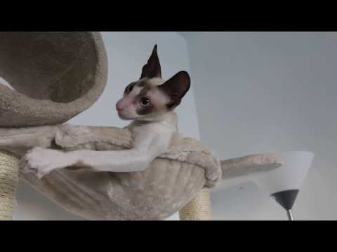 "Cat Cornish Rex ""Ulrico"" beautiful player"