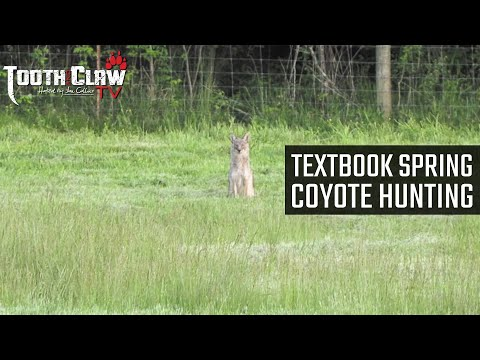 Textbook Spring Coyote Hunting