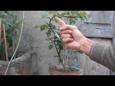 How To Rose Plant Bonsai Wiring The Plant Growing Rose