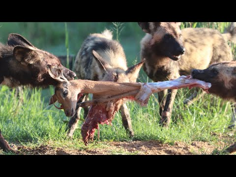 Wild Dogs Tear Into Impala After Hunting It
