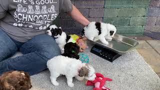 Sugars Schnoodle puppies  just got a fresh bath. May 24, 2021