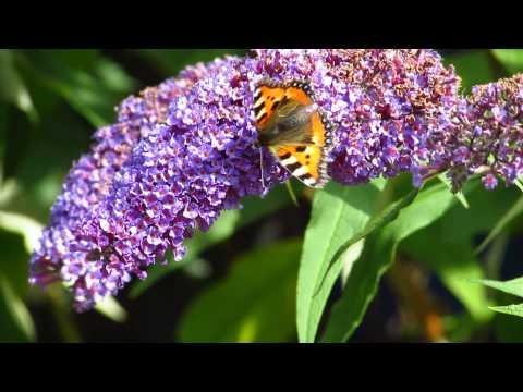 Irish Garden Butterflies: A Beginner's Guide