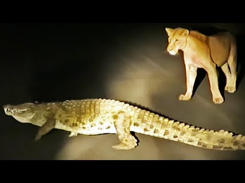 Crocodile Tries To Steal Lion's Kill. Hyenas And A Leopard Watch