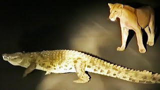 Crocodile Tries to Steal Lion