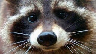 Raccoon Who Inspired 'Guardians of the Galaxy' Character Dies