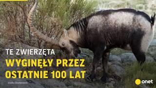 Te zwierzęta wymarły w XX i XXI wieku | Onet100