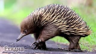 Животные Австралии/Как говорят животные Австралии/Animals of Australia