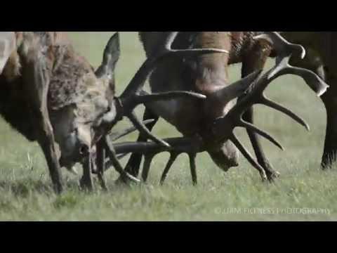 Red Deer Rut - Richmond Park - 5th October 2014 - Rutting - Nikon D7100 - Golden Hour - Sunrise