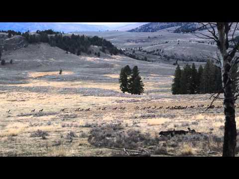 Elk herd running along the Specimen Ridge trail in Yellowstone N.P.