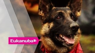 Buddy The Hero Dog Saves His Family - Part 1   Extraordinary Dogs