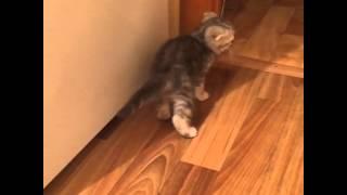 Скоттиш фолд котенок. Нам 2 месяца