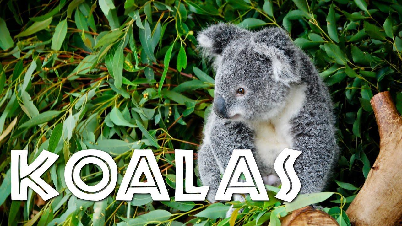 Image result for koalas