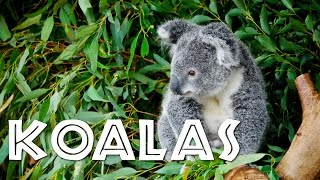 All About Koalas for Kids: Koalas for Children - FreeSchool