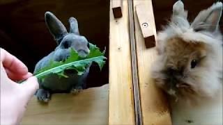 Кролиководство. Проверяем окролы. Одуванчики для кроликов.