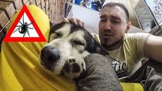 Как защитить собаку от клещей ?