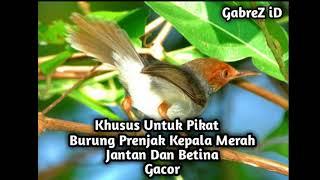 Gambar cover Suara Pikat Burung Prenjak Kepala Merah mp3 Suara PEDAS