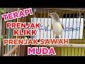 Pancingan Prenjak Ciblek Sawah Prenjak Klik Bahan Kicau Pidong  Mp3 - Mp4 Download