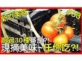 【台灣美食-新竹】台灣水果!?超過30種番茄~現摘現吃!?【AnsonTV】90天上傳挑戰#32|台湾水果|台湾の果物|Taiwan fru