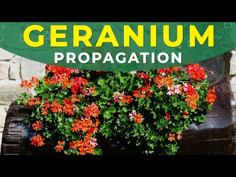 How to grow Geranium (Pelargonium) from seeds?