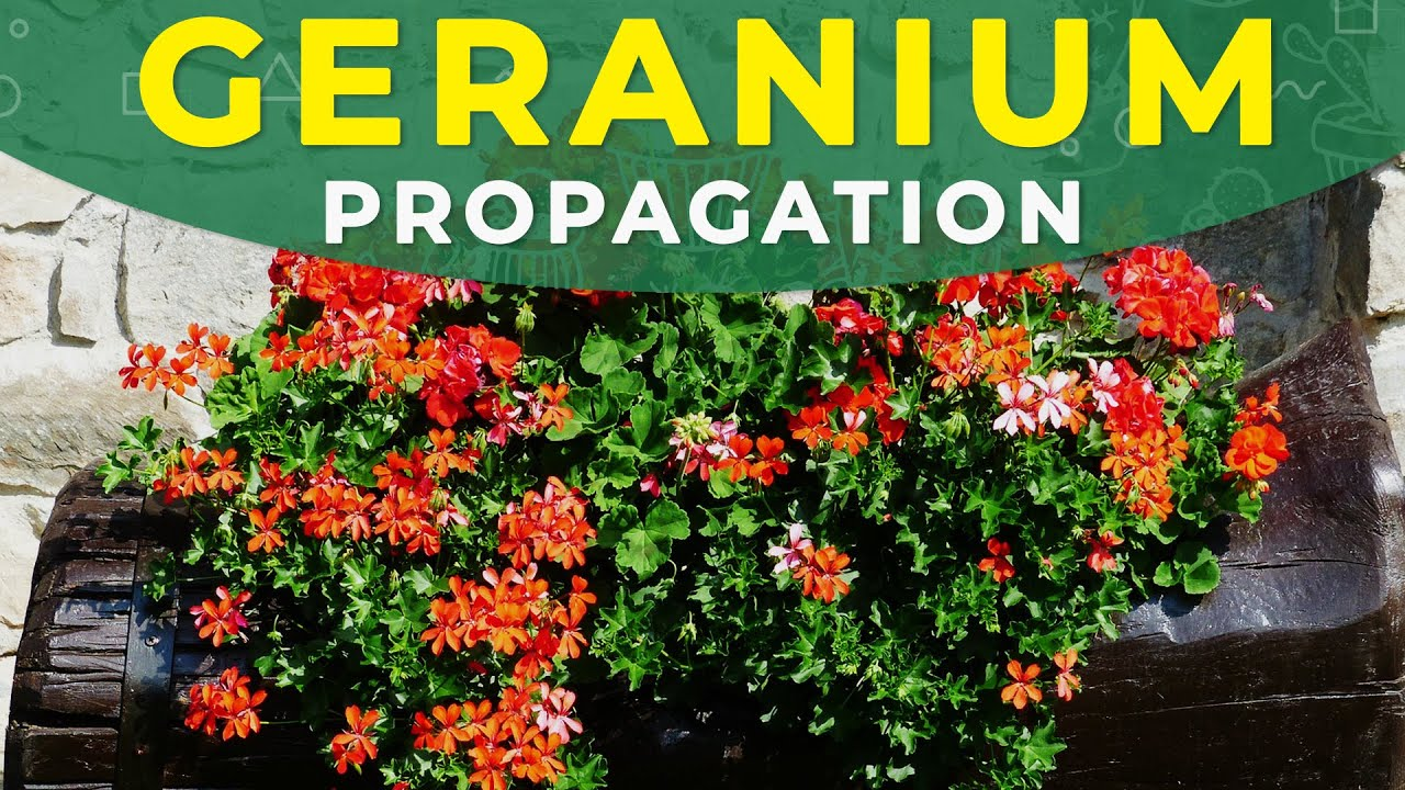 How to grow a geranium from seeds yourself