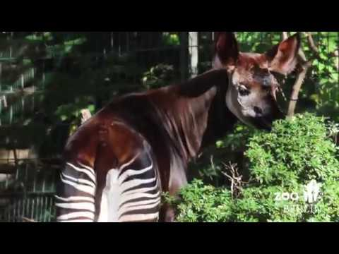 Okapis In Berlin World Okapi Day Youtube