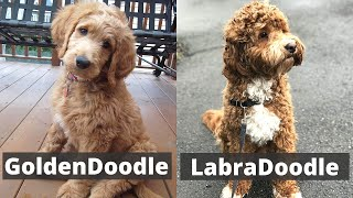 LabraDoodle vs GoldenDoodle | Detailed Comparison between the Two Mixed Dog Breeds