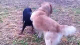 Rottweiler Vs Golden Retriever!