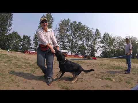 Female German Shepherd Tugging And Engagement ~ Video Sponsored By Prodogz.com