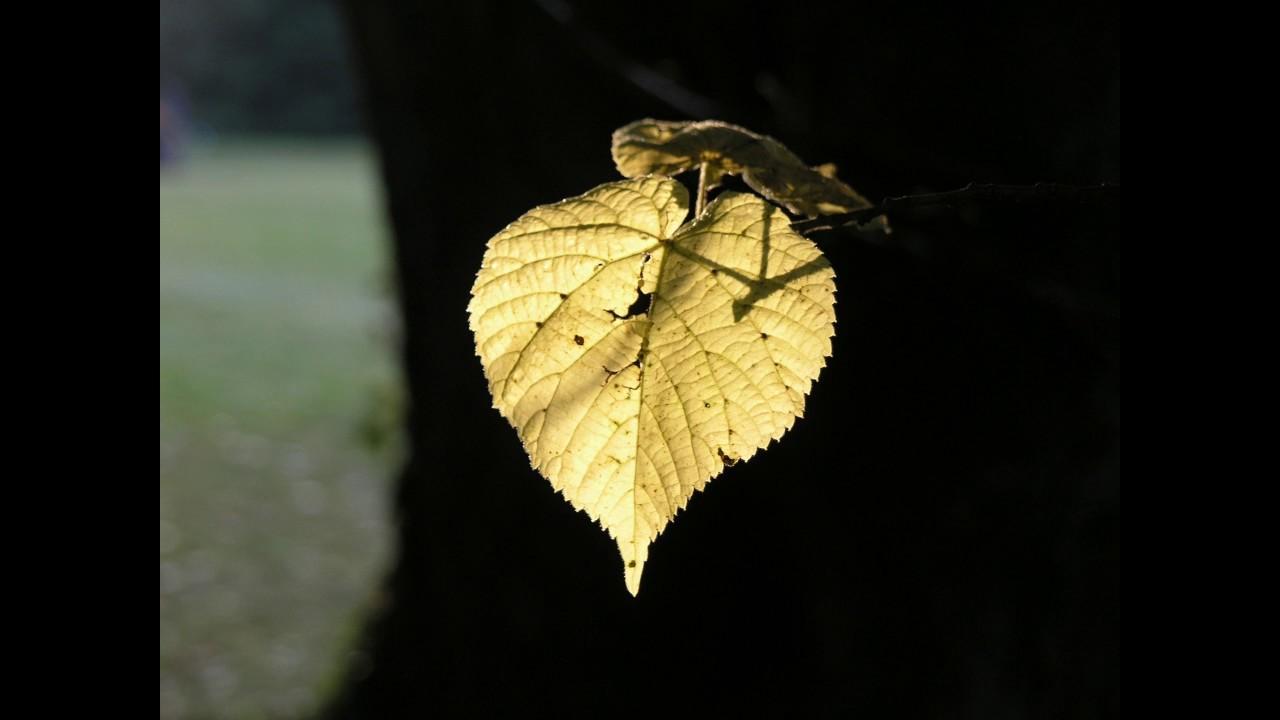 Lípa – náš národní strom