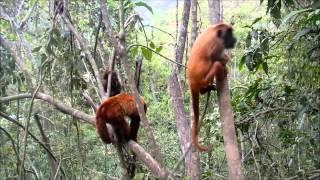 Singe hurleur de Bolivie 2 / Bolivian red howler monkey 2
