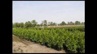 Canadian Hemlock Trees for privacy Screenings Bucks County Pa Grower