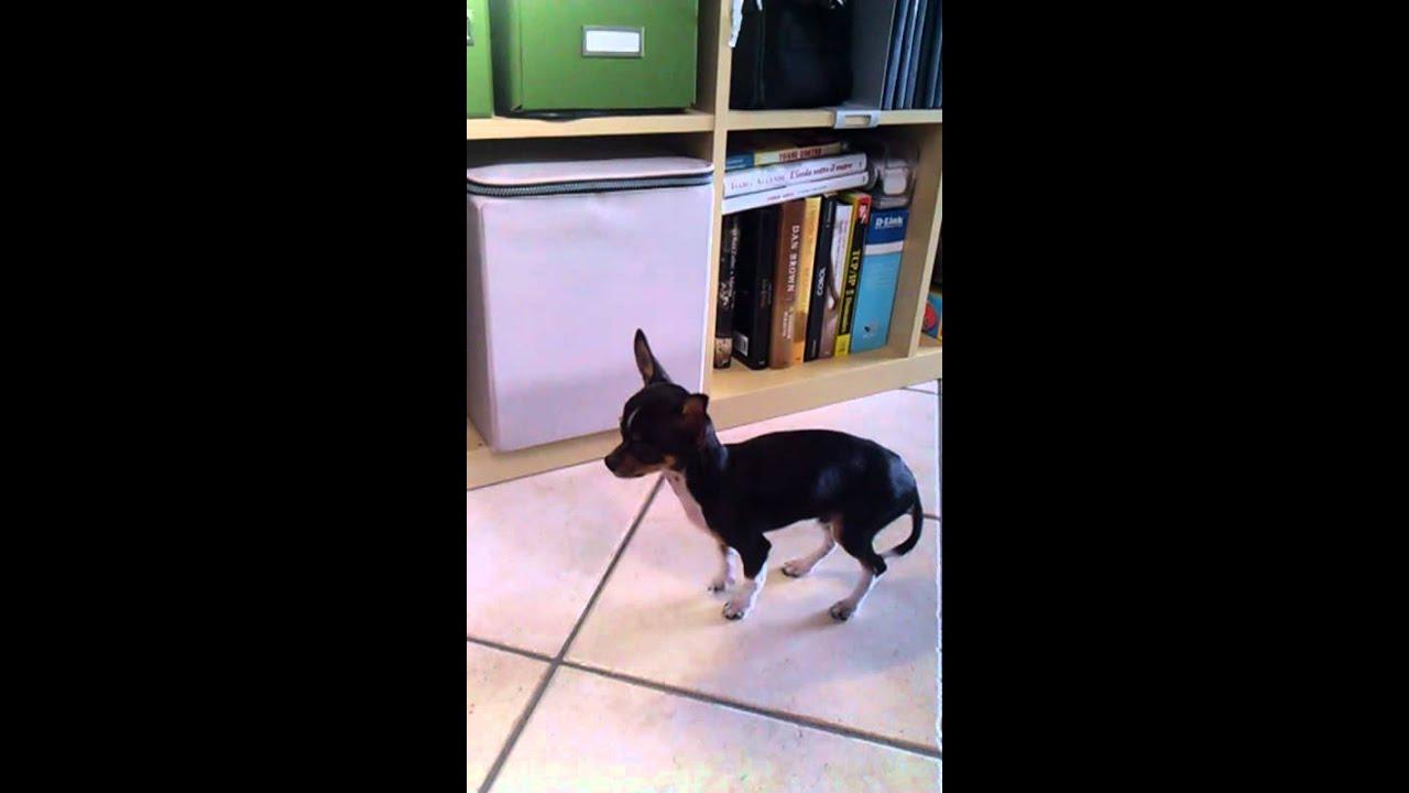 Chihuahua toy che trema e ringhia allo specchio youtube - Cane allo specchio ...