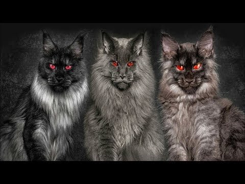 🙀 TOP 10 Most Dangerous Cat Breeds In The World