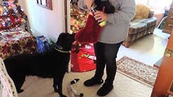 Our Black Lab Knows Where His Christmas Gifts Are - 12-25-2013