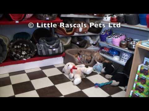 Little Rascals Uk breeders New litter of Pugalier's