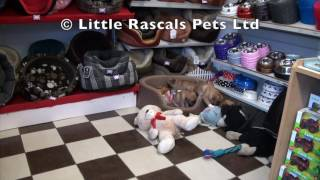 Little Rascals Uk Breeders New Litter Of Pugalier's