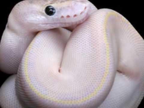 S373! Python Ban!