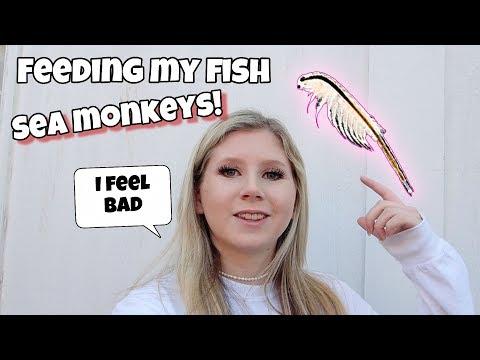 FEEDING My *FISH* SEA MONKEYS?!?