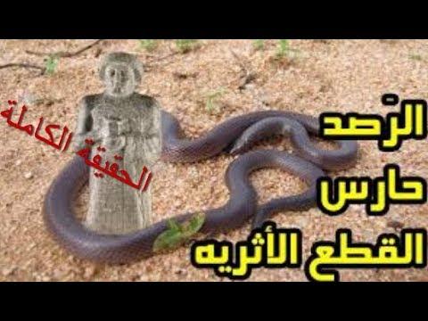 (حقيقة ثعبان الراصود   حارس الكنز !!)