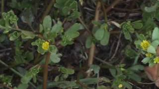 Edible Plants: Purslane