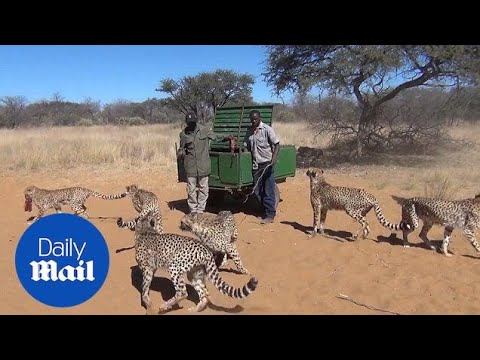 Cheetahs gather round staff in preparation for lunch - Daily Mail
