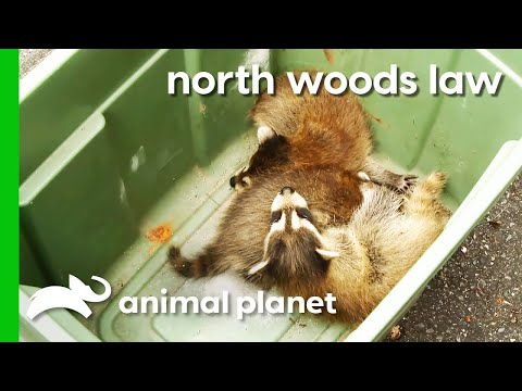 Mama Raccoon And Babies Rescued From Family's Shed | North Woods Law