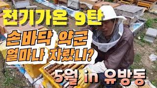 [취미양봉 부업양봉]교육용약군 전기가온(9탄)으로 봄벌…