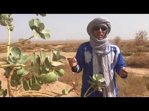 Poisonous plants of the Sahara part 1 - Erg Chigaga Luxury Desert Camp Morocco