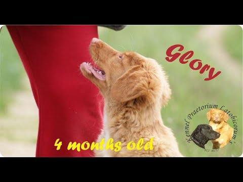 Nova scotia duck tolling retriever Glory 4 months old