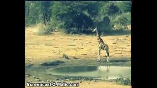 Zyrafa - świat zwierząt Afryki