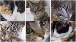 Nyankurutv Vol.2  にゃんくるtv【かわいい猫カフェ/保護猫】【cute Cat Cafe】