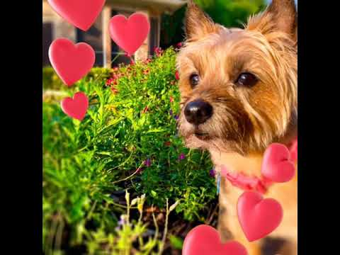 Dixie the Norwich terrier - Happy Valentine's day - 2020