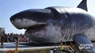 Megalodon Shark Captured South Australian Coast